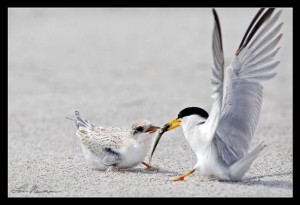 Willie Least Tern feeding its chick