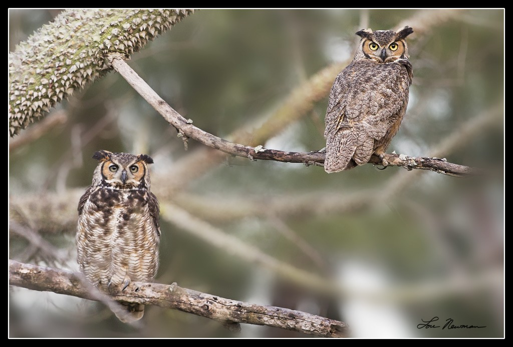 Hooter & Hootie are resident Great Horned Owls at Plymouth Harbor.
