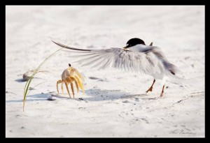 Willie Least Tern with a Ghost Crab